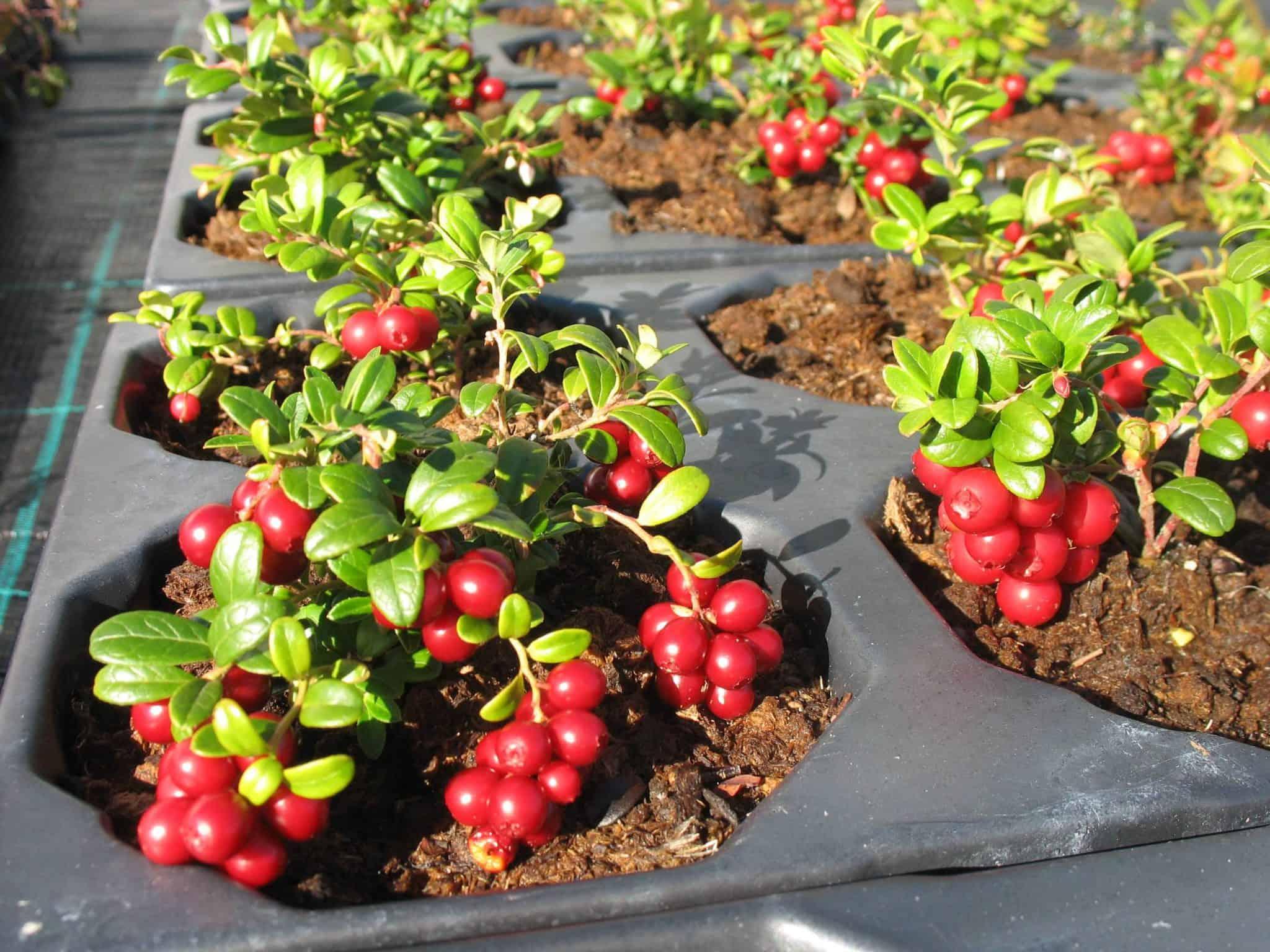 Lingon, Vaccinium vitis-idaea, vossebes, rode bosbes, Puolukka